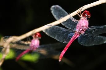 2-dragonflies