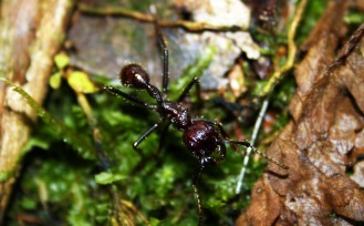 bullet-ant-3