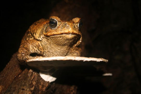 giant-toad-2