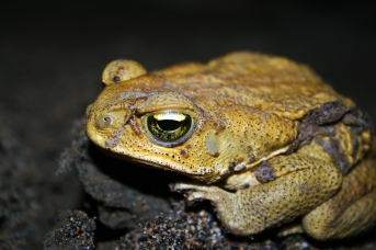yellow-toad